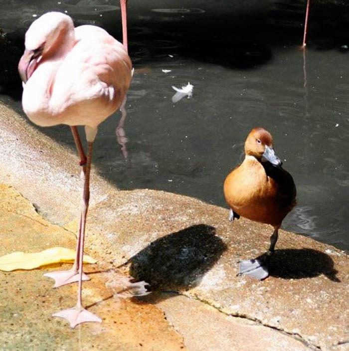 ducks-pretend-flamingos-vinegret-3