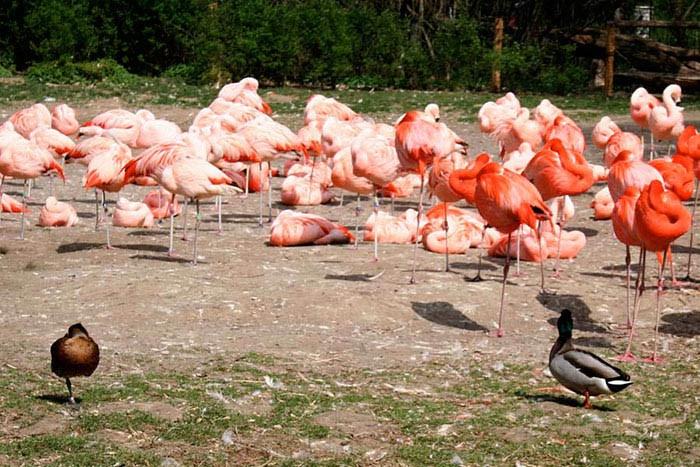 ducks-pretend-flamingos-vinegret-5