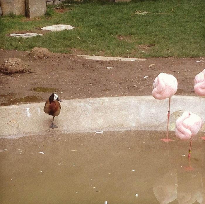 ducks-pretend-flamingos-vinegret-9