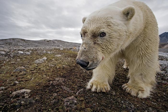 Polar Bears, birds and scenery from Leiftafiord. .