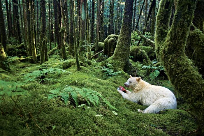 Bears in the Great Bear Rainforest. White Kermode or Spirit Bears and Black bears.