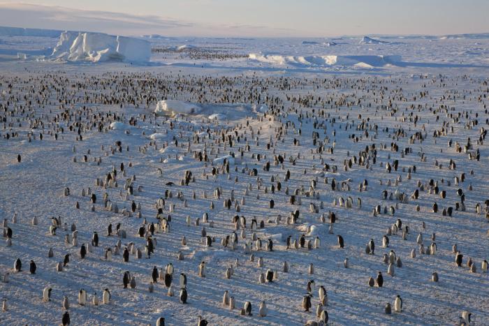Emperor Penguins shot from the Mario Zuchelli Base, Ross Sea, Antarctica. Penguins at Floe Edge at Terra Nova.