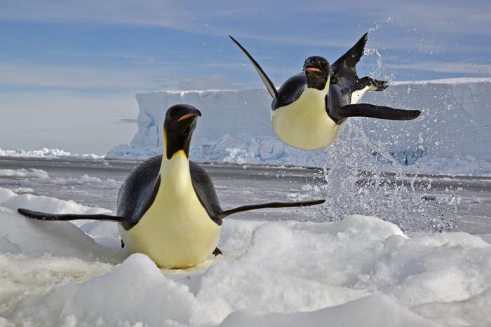 Emperor Penguins shot from the Mario Zuchelli Base, Ross Sea, Antarctica. Penguins at Floe Edge at Cape Washington.