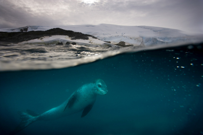 A variety of leopard seal situations at the same location of Rosenthal on the West Side of Anvers Island.
