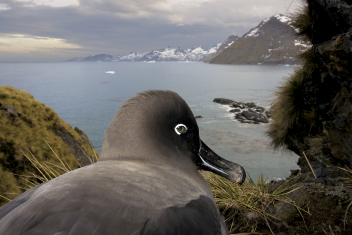 Light Mantled Sooty Albatross, Penguins and Elephant Seals at Gold Harbour