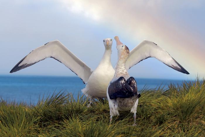 Wandering Albatrosses Prion Island, South Georgia