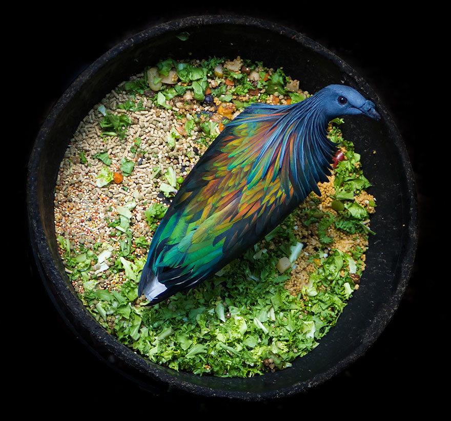 nicobar-pigeon-colorful-dodo-relative-32