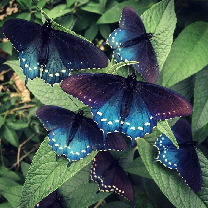 rare-blue-swallowtail-pipevine-butterfly-repopulation-tim-wong-vinegret-1
