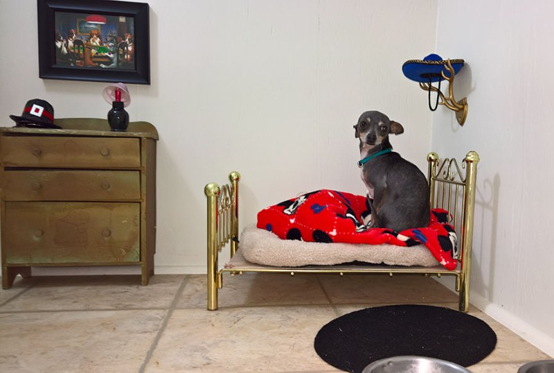 room-for-chihuahua-dog-vinegret-4
