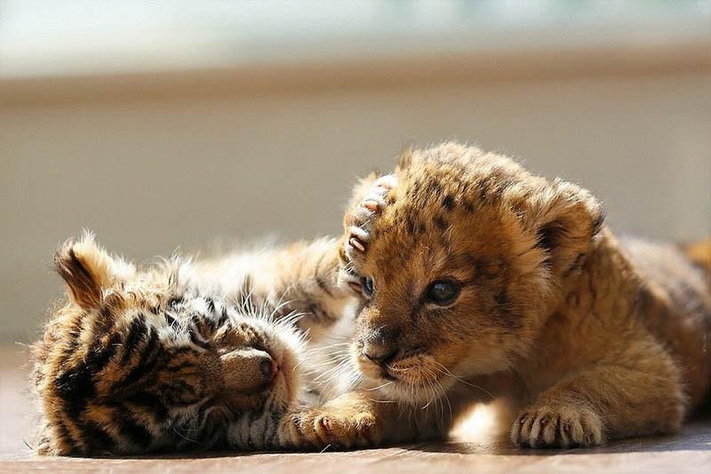 xoroshie-druzya-tigrenok-i-lvenok-v-japan-safari-parke-vinegret-14
