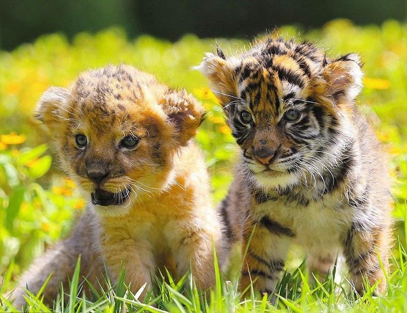 xoroshie-druzya-tigrenok-i-lvenok-v-japan-safari-parke-vinegret-8