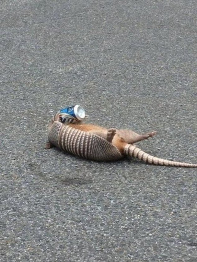 394f051000000578-3833174-an_armadillo_lying_on_its_back_isn_t_prepared_to_stop_partying_j-a-24_1476303843383