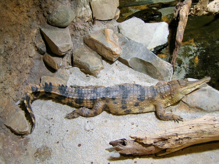 afrikanskij-uzkorylyj-krokodil