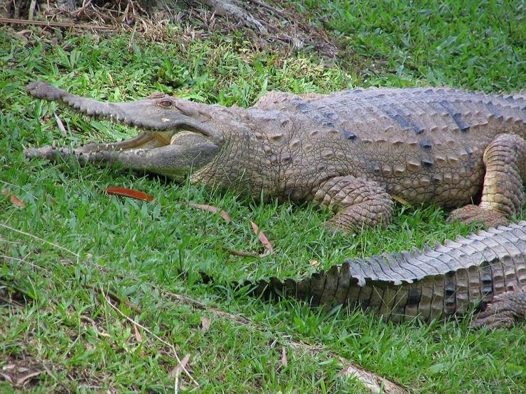 avstralijskij-uzkorylyj-krokodil