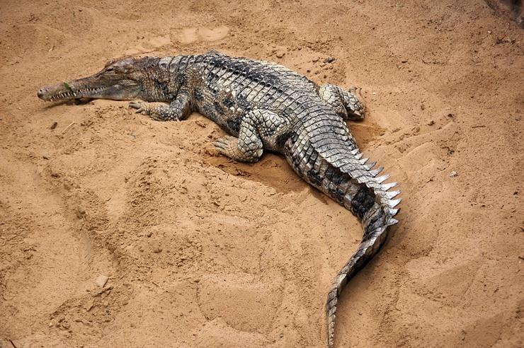 gavialovyj-krokodil