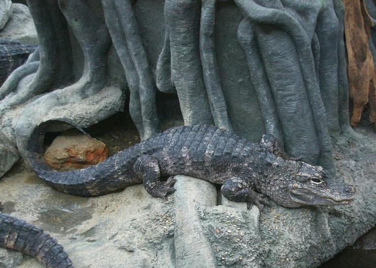 kitajskij-alligator