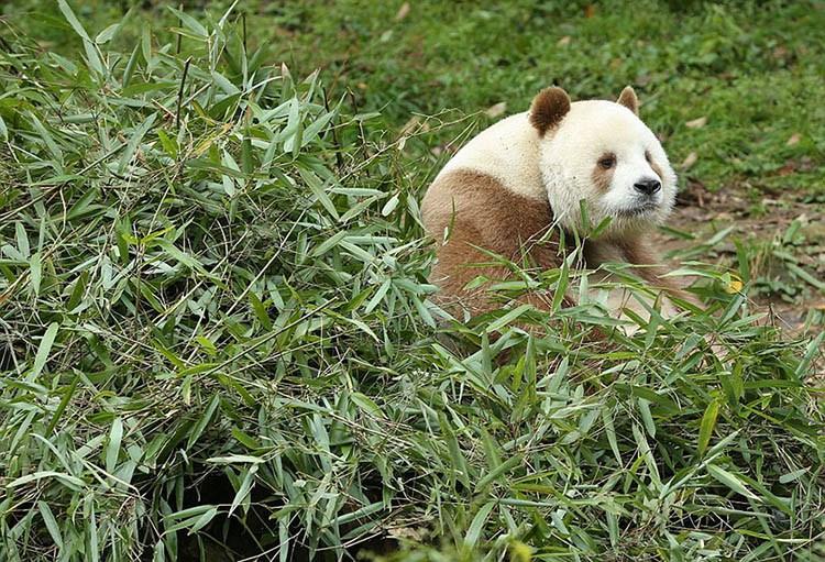 abandoned-brown-panda-qizai-vinegret-1