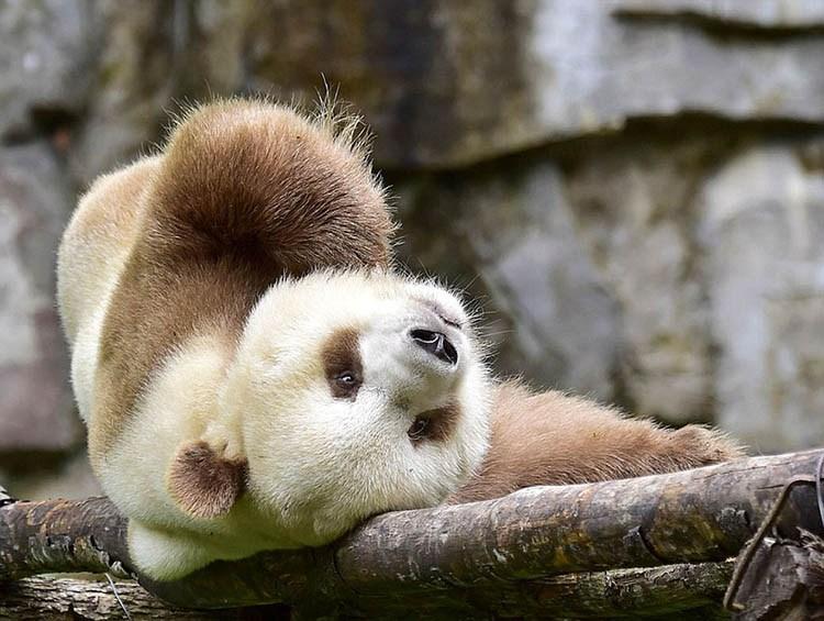 abandoned-brown-panda-qizai-vinegret-10