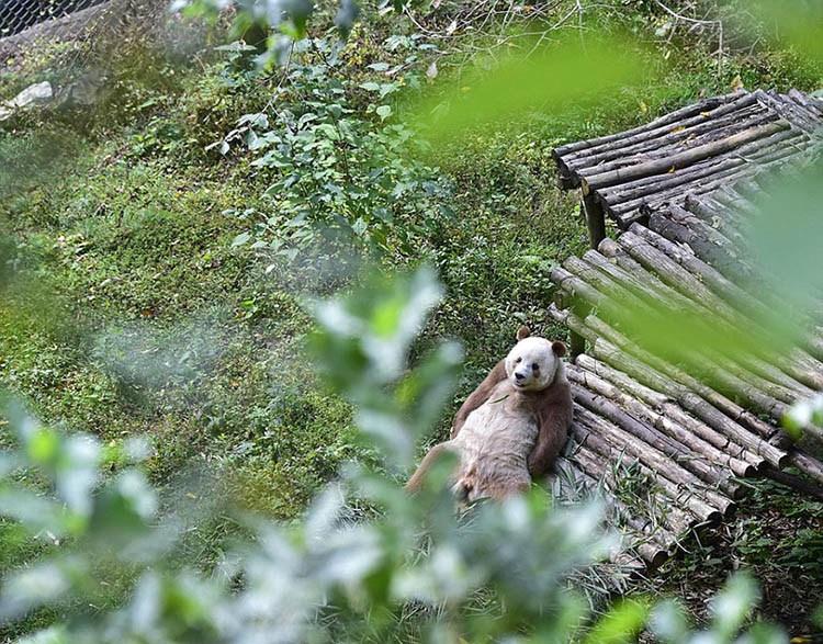 abandoned-brown-panda-qizai-vinegret-5