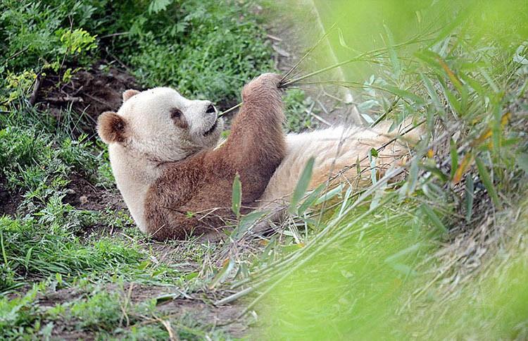 abandoned-brown-panda-qizai-vinegret-7