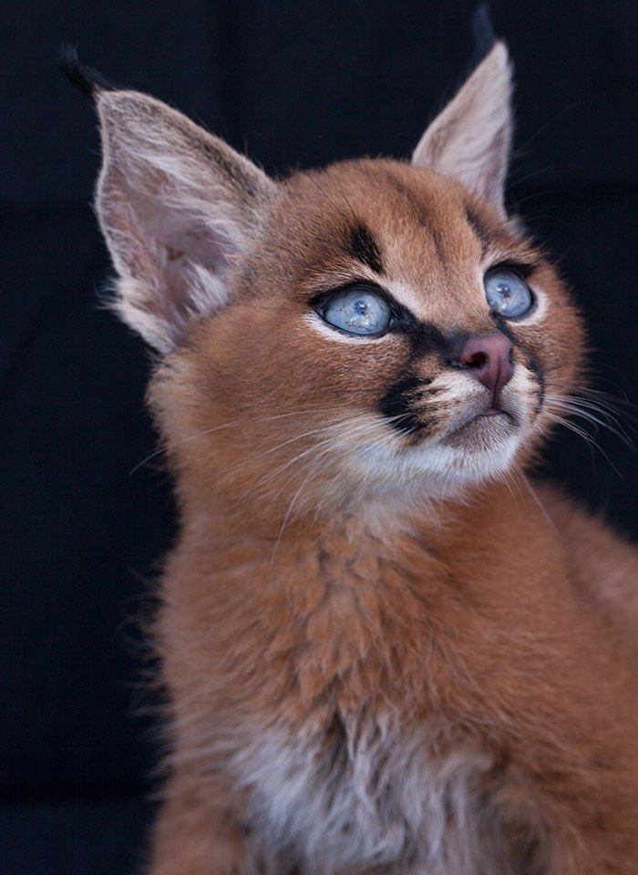 cute-baby-caracals-vinegret-2