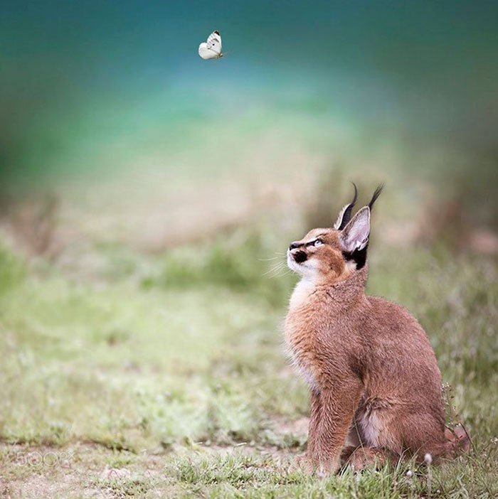 cute-baby-caracals-vinegret-5
