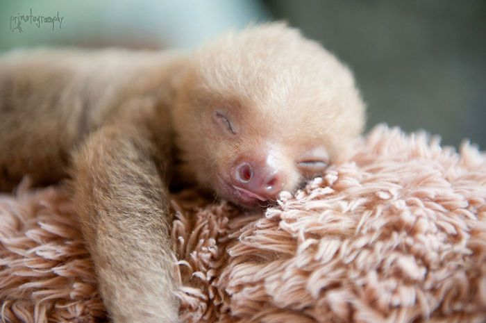 cute-sloths-vinegret-13