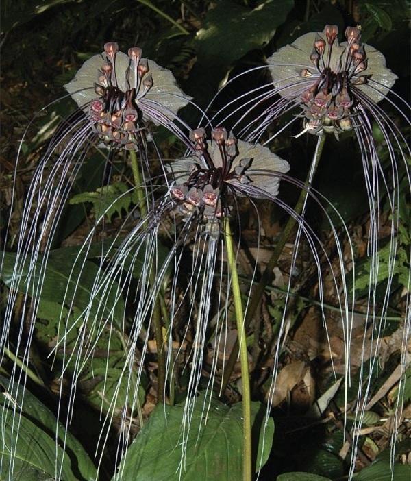 ekzoticheskij-cvetok-takka-10