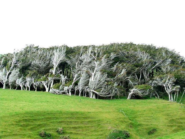 gnutye-derevya-v-novoj-zelandii-13