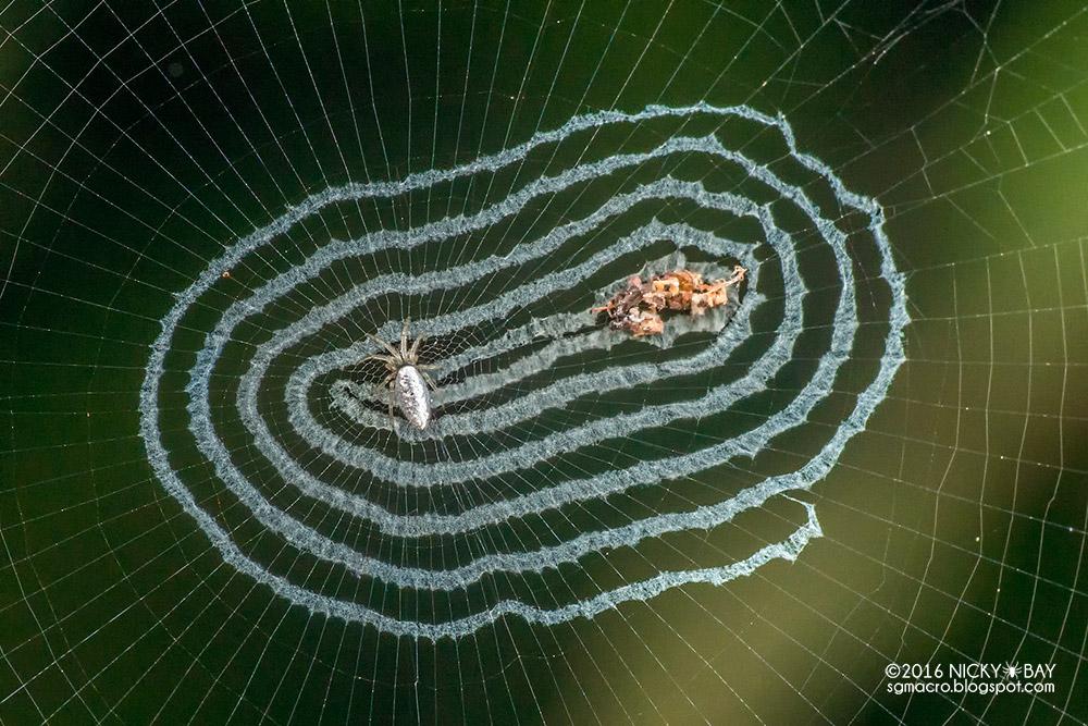neobychnye-zerkalnye-pauki-5