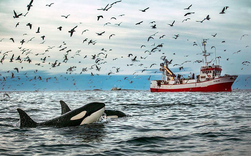 arctic-whales-photography-audun-rikarsen-12-582abc9432435__880