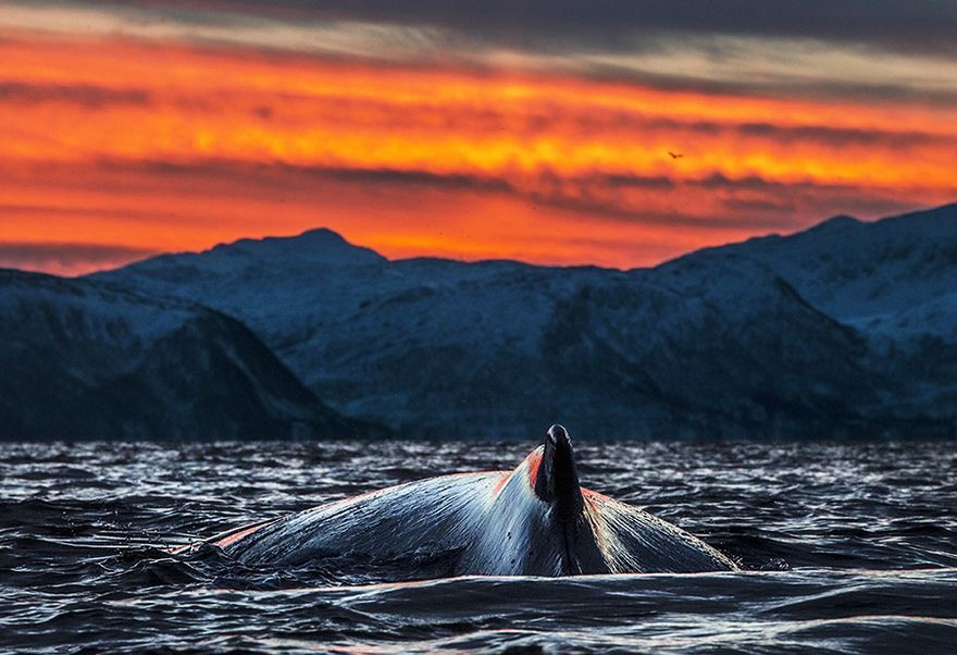 arctic-whales-photography-audun-rikarsen-17-582abca11f8b2__880