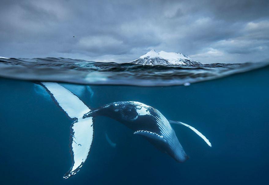 arctic-whales-photography-audun-rikarsen-4-582abc82192fa__880
