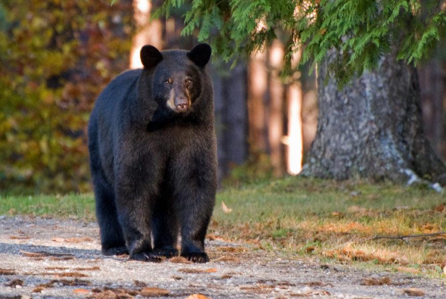 Барибал, или черный медведь