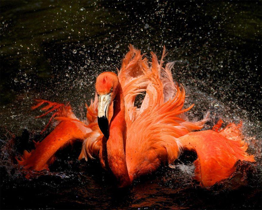 Красный фламинго