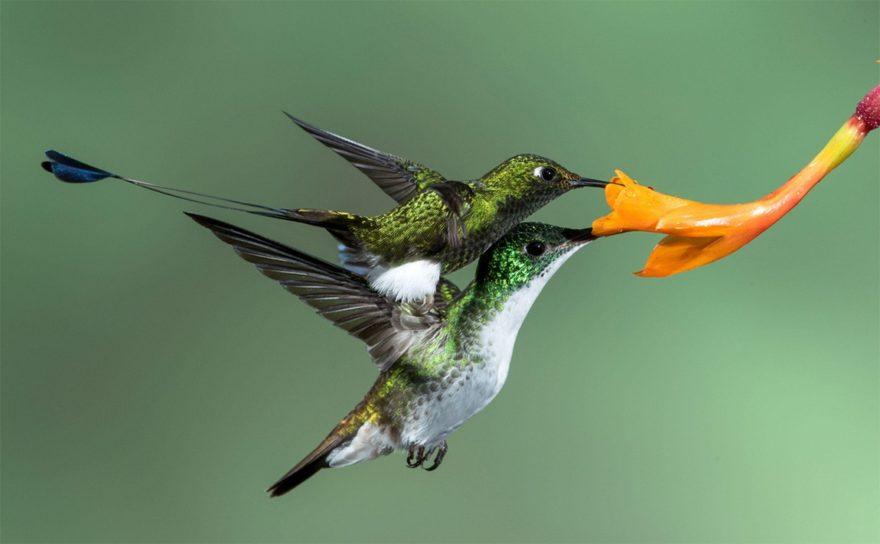 Райский дронго и колибри