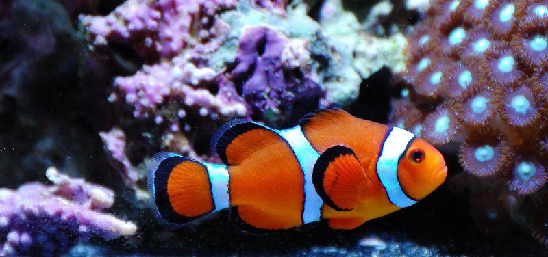 Кормление рыбы клоуна