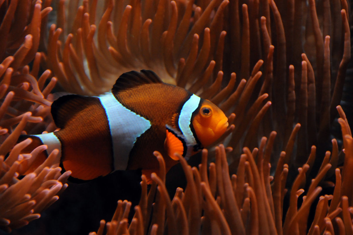 Самка рыбы клоуна в немоне