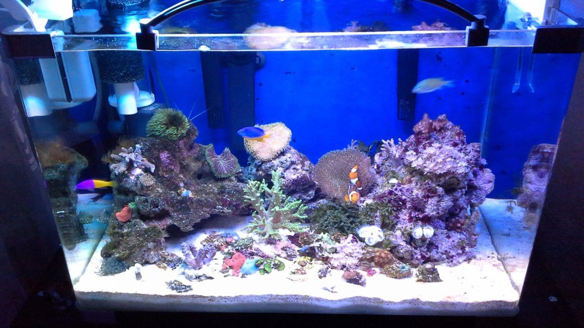 Рыба клоун в большом аквариуме