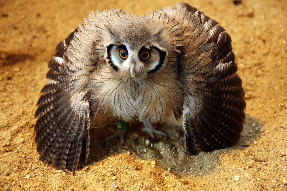 Белолицая совка – хитрая сова-трансформер
