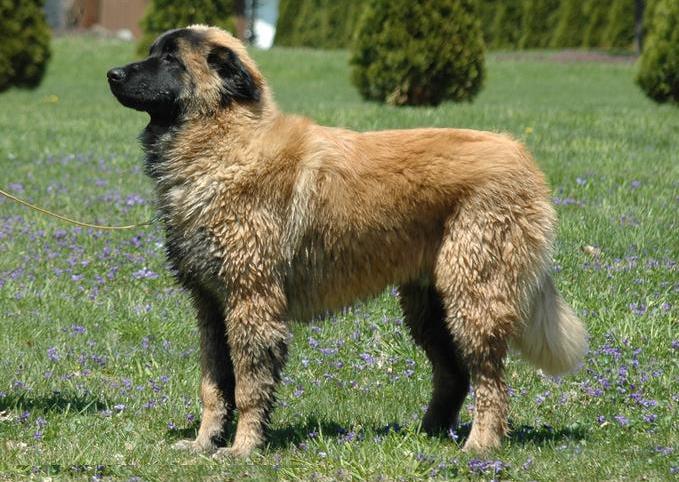 Эстрела горный пес