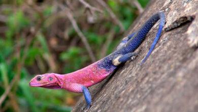 Почему ящерица отбрасывает хвост?