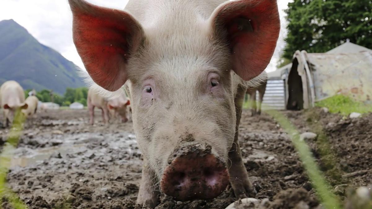 свинья грязное животное