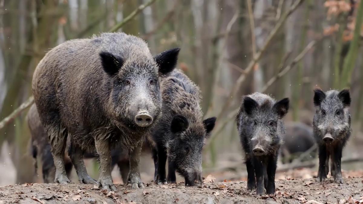 свиньи в дикой природе