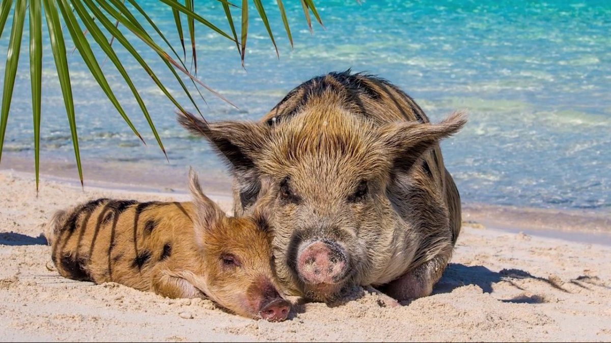 свинью любят плавать