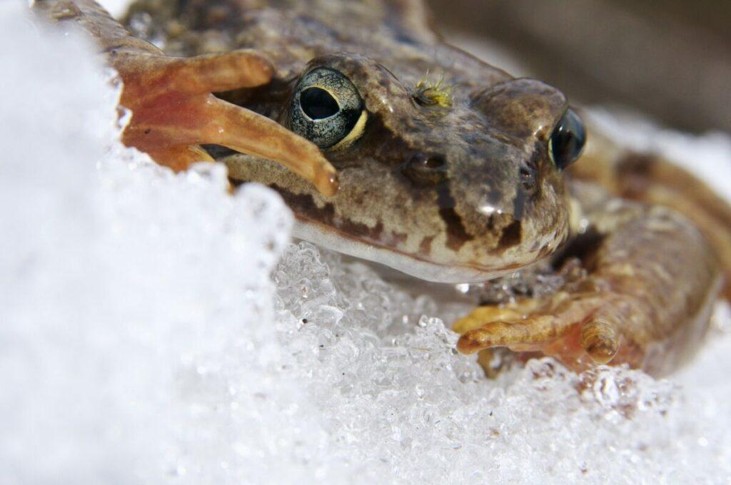 Зимовка земноводных