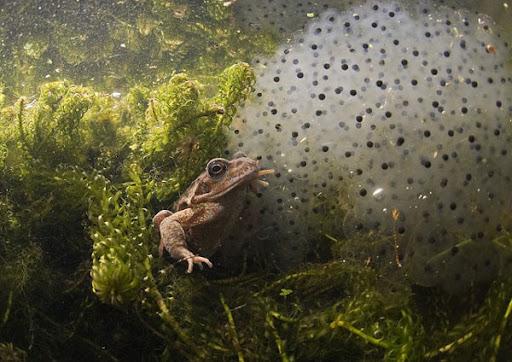 Размножение и развитие земноводных