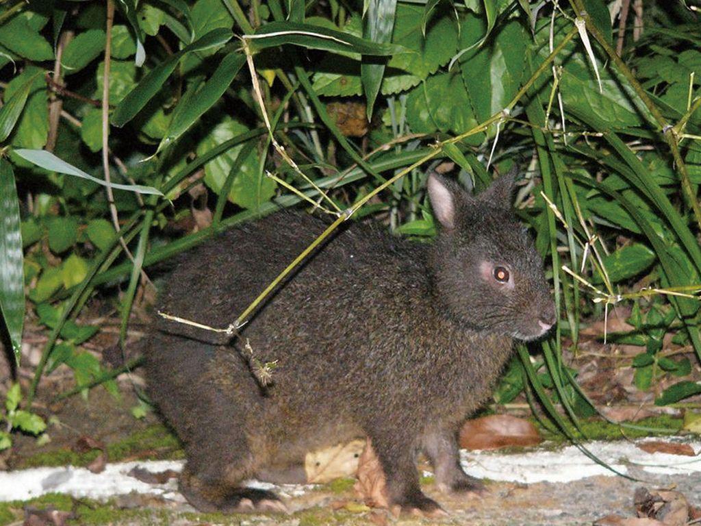 Древесный заяц