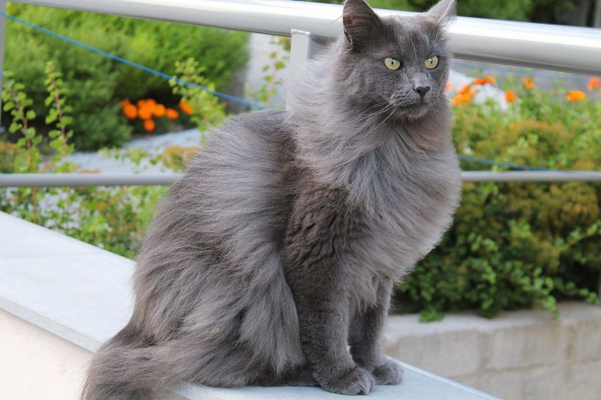 Нибелунг кошки картинки