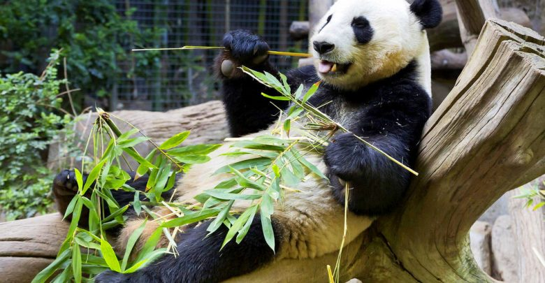 Большая панда
